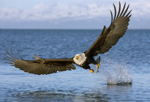 bald-eagle-catching-fish-500x342